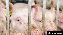 Russia has seen outbreaks of swine fever in some regions.