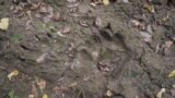 Footprints of a bear, in the Bükk mountains, Northern Hungary. Video grab.