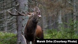 A red deer stag in the Sumava Mountains in the southern Czech Republic