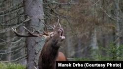 За даними Мінприроди, чисельність популяції лосів в Україні становить на рівні 2- 6 тисяч особин