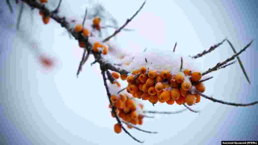 Прошлогодняя облепиха стала лакомством для зимующих птиц