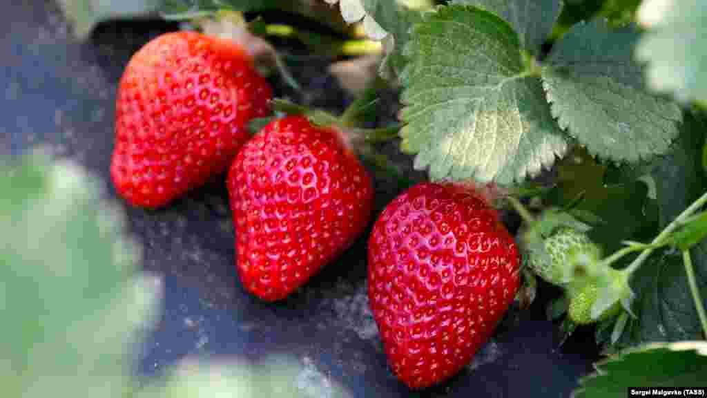 Полуниця виду Клері дає ранній і багатий урожай, не боїться хвороб, має виражений суничний аромат і, звичайно, солодкий смак