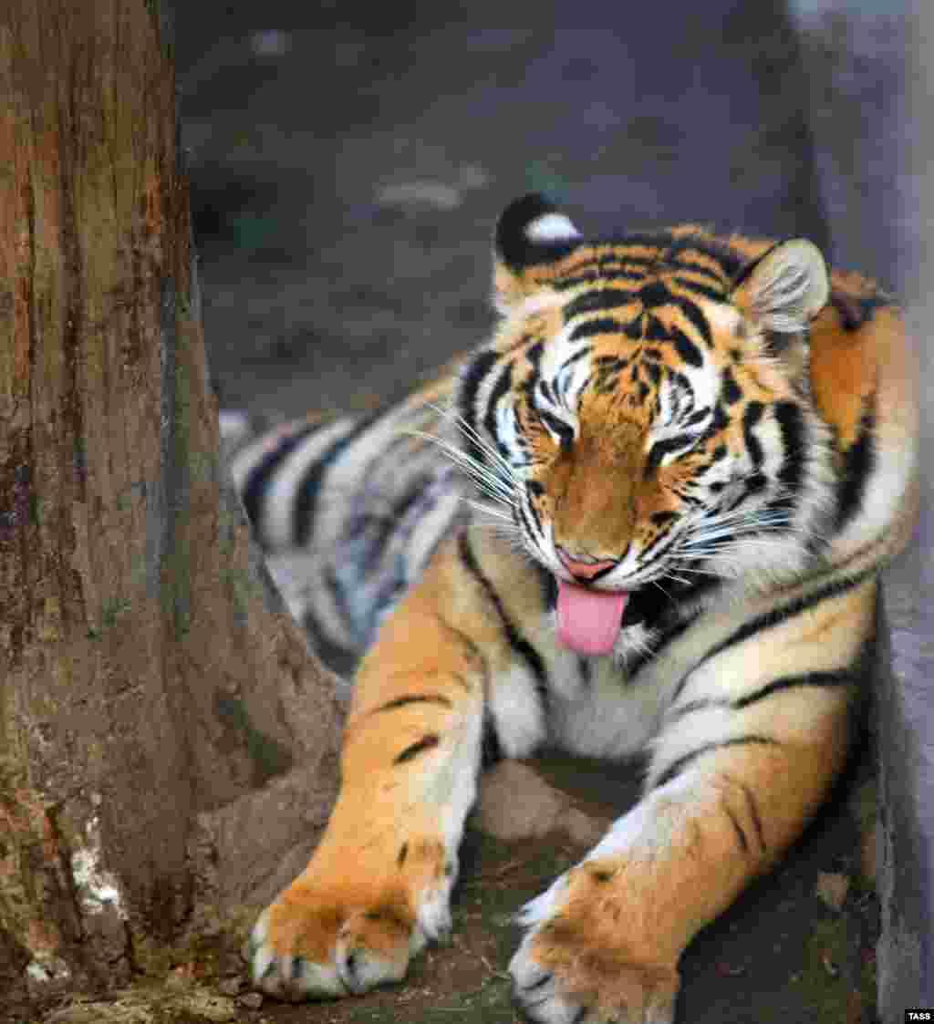 Существует международная программа по спасению тигров