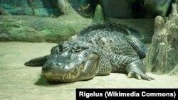 تمساح تولد شده در امریکا در باغ وحش مسکو
