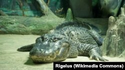American alligators live for about 30-50 years in the wild.