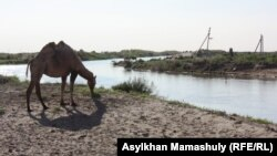 Верблюд пасется на берегу реки Куандария в Кызылординской области.