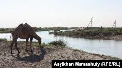 Верблюд у реки Куандария в Кызылординской области. 16 июля 2013 года.