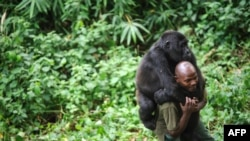 Вирунг улуттук паркынын көзөмөлчүсү Патри Карабаранга жетим горилланы ойнотуп жүрөт. Конго Демократиялык Республикасы. 2012-жыл.