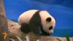 Тайвань – панда
