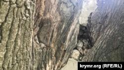 Цементная пломба в Суворовском дубе