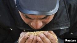 Бидайды тексеріп тұрған жұмысшы. Астана маңындағы Ақкөл ауылы, 11 қазан 2011 жыл.
