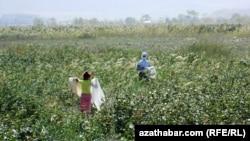 Сельские жители собирают хлопок, Туркменистан