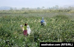 Turkmen law bans children from forced labor, but rights activists say that the authorities often cancel classes during the harvest season and order minors to pick cotton.