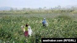 По законодательству Туркменистана, принудительный детский труд запрещен, но правозащитники говорят, что власти часто отменяют уроки во время сезона сбора урожая хлопка и отправляют несовершеннолетних на поля.