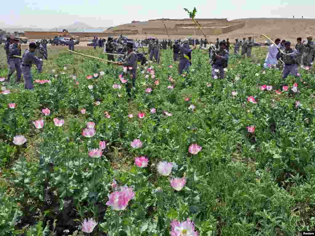 Афганська поліція знищує макове поле поблизу міста Калат, провінція Забул, 4 травня. Photo by U.S. Air Force 1st Lt. Brian Wagner for REUTERS