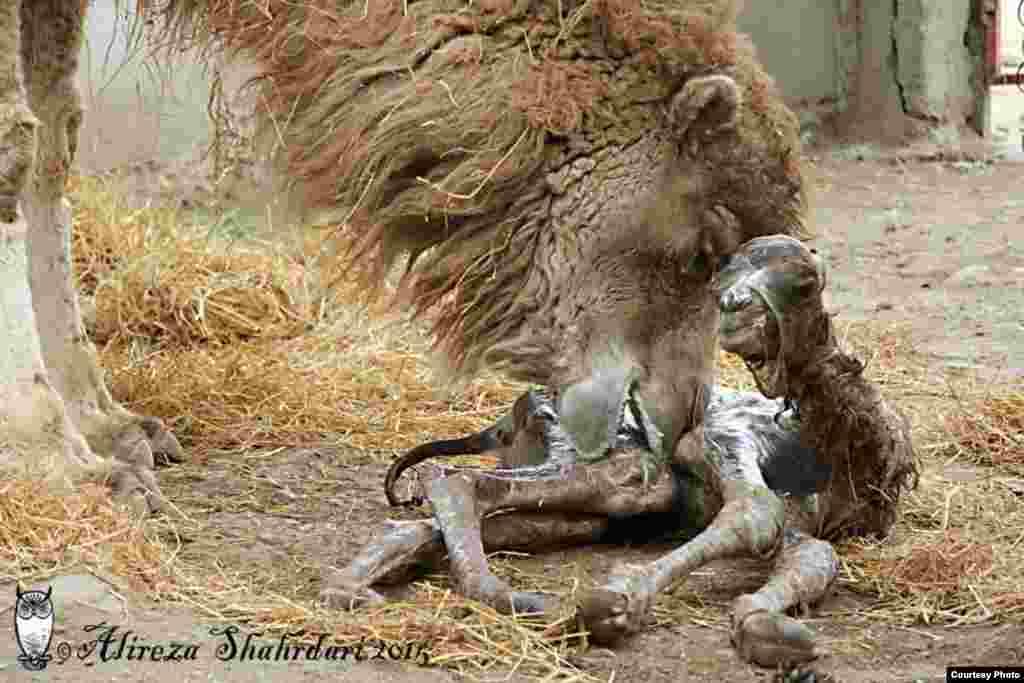 مادر «بهار» مراقب اوست و تمیزش می کند ولی شیر حاضر نیست به او بدهد