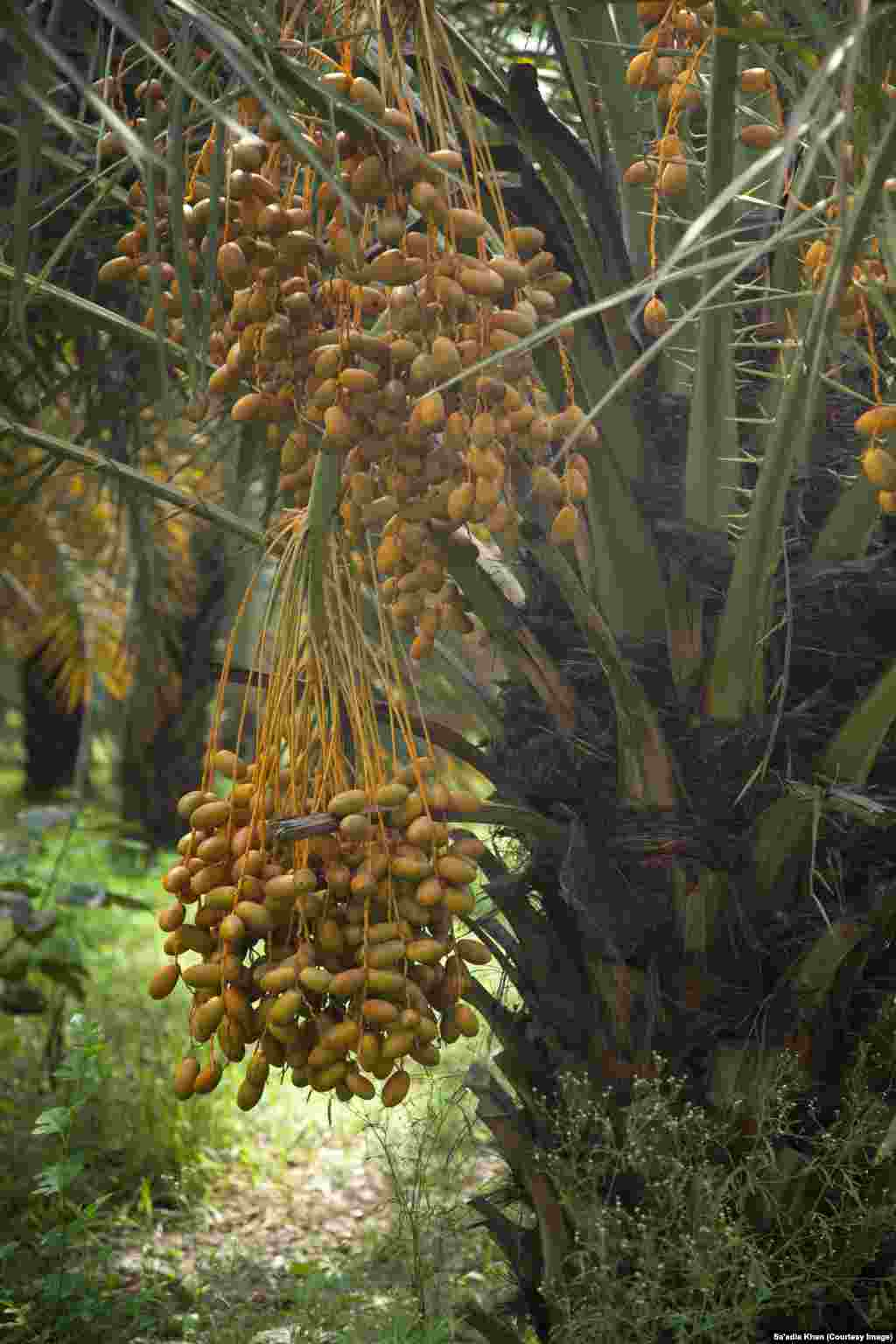 A date tree at a plantation that has reached its peak for bearing fruit.