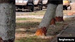 Зарубки на стволах деревьев. Фото «Фергана».