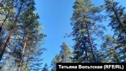 Лес в Гатчинском районе