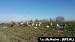 5-10 hektar və daha çox sahədə yerkökü əkini aparan fermerlər var.