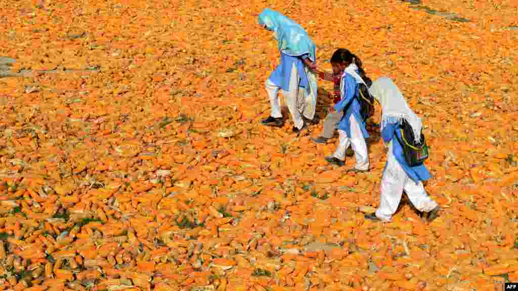 Pakistani schoolchildren walk over corn in the village of Kasab in Farid Kot. (AFP/Arif Ali)