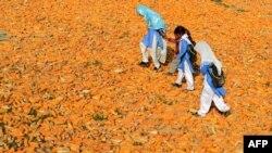 Nxënëse pakistaneze ecin mbi misër në fshatin Kasab në Farid Kot.