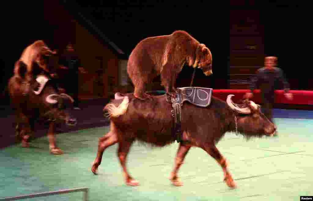 Buffalo carry bears on their backs as they perform during the presentation of the new show Unprecedentedness at the Belarus State Circus in Minsk on May 25. (Reuters/Vasily Fedosenko)