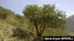آرشیف، باغ پسته در افغانستان