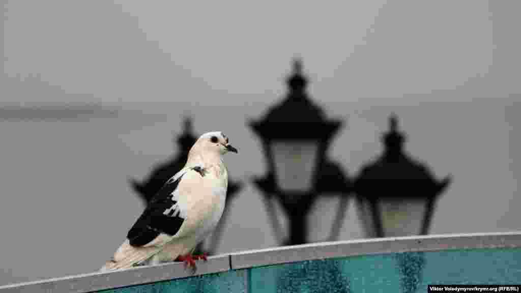 Одинокий местный голубь