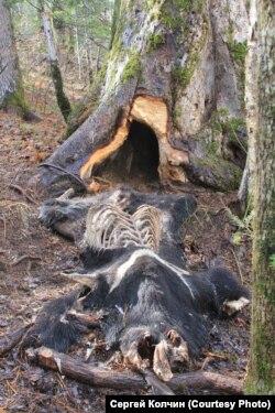 Медведь, убитый браконьерами и разрушенная берлога