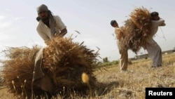 FILE: Farmers work on a wheat field in Nangarhar Province.