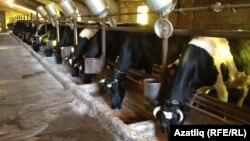 Рәкип Гатиннарның савым сыерлары фермасы