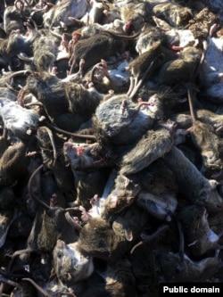 Підхопити небезпечну інфекцію можна навіть від мертвої миші. Фото з Facebook Юрія Мисягіна