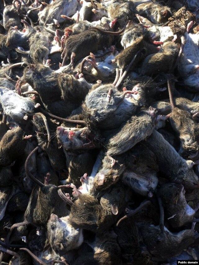 Подхватить опасную инфекцию можно даже от мертвой мыши. Фото с Facebook Юрия Мисягина