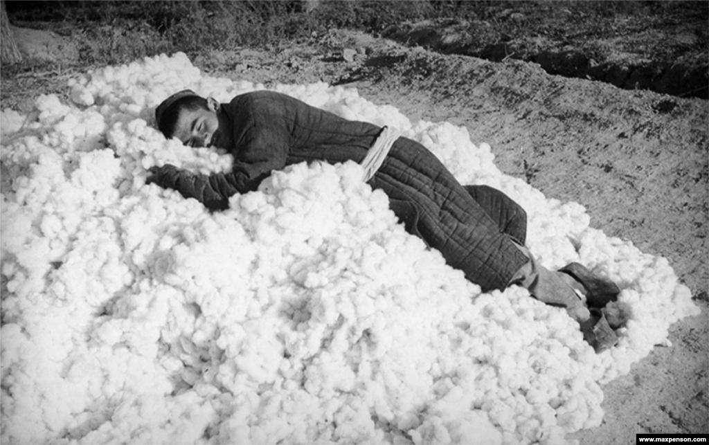 A picker flops himself onto a pile of freshly gathered cotton.