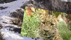 В поисках леопарда