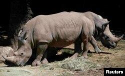 Белые носороги. Один из видов, находящихся в критической опасности