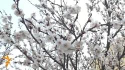 OZOD-VIDEO: Баҳор Марказий Осиёга шошиб-пишиб келиб олди