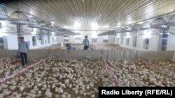یک فارم مرغ در افغانستان