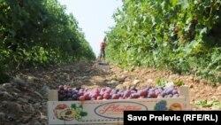 """Berba grožđa na plantažama """"Plantaža"""""""