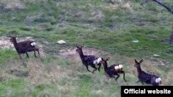 Пятнистые олени в заповеднике «Хуталон» в Дангаринском районе, на малой родине президента Таджикистана. В 2018 году Рахмон лично выпустил в открытые угодья заповедника 60 особей оленя.