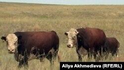 Бычки породы казахская белоголовая на пастбище. Алматинская область, 21 июля 2011 года.