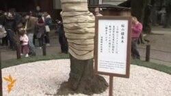 Японияда сакура гуллади