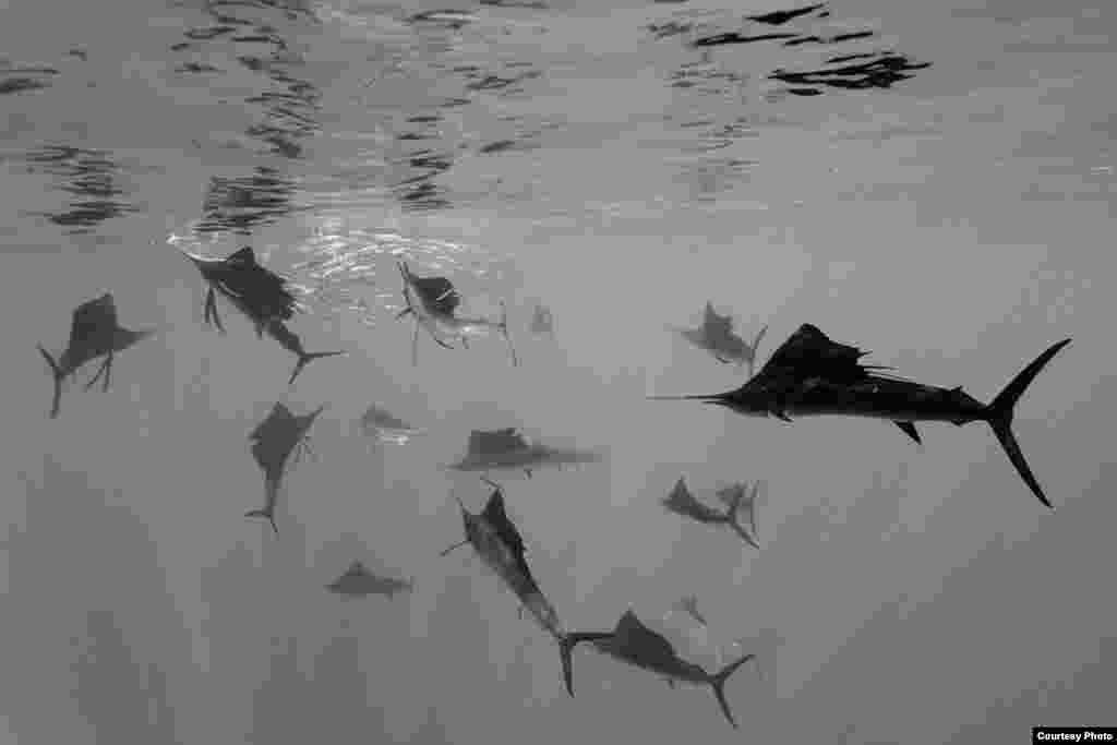2-е место / Природа / одиночные фотографии Рейнхард Диршерл, Германия Атлантические парусники сгоняют сардины в косяк у побережья Юкатана, Мексика.