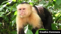 "Обязьяна-капуцин (Cebus capucinus) в джунглях Коста-рики <a href = ""http://en.wikipedia.org/wiki/Image:Capuchin_Costa_Rica.jpg"" target=_blank>Wikipedia Creative Commons Фото David M. Jensen</a>"