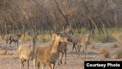 Bukhara deer in Uzbekistan's Zarafshan Nature Reserve