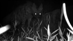 Not The Last Laugh: Rare Hyena Spotted In Tajikistan