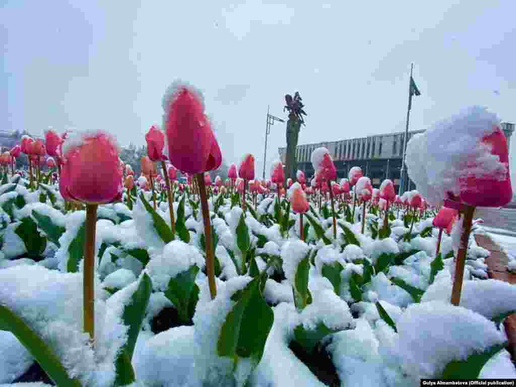Тюльпаны в Бишкеке.