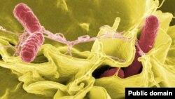 Сальмонелла (выделена красным) атакует культуру клеток человека. Съемка электронным микроскопом