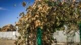 «Сгоревшие» листья винограда после выброса неизвестного вещества, село Перекоп, Крым